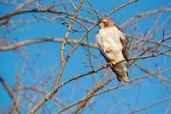 Red-tailed Hawk - Buteo jamaicensis. A young, first winter Red-tailed Hawk perched up in a tree looking down to the ground for potential prey. Tommy Thompson royalty free stock photos