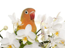 Young fischeri lovebird. In front of white background Stock Image