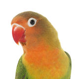 Young fischeri lovebird. In front of white background Stock Photos