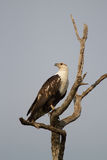 Young fish eagle Royalty Free Stock Image