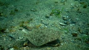 Young fish flounder-kalkan disguised on the sand on the seabed, mimicry, disguise. Black Sea stock video footage
