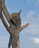 Young fisher (marten). In dead tree,Northern Minnesota Stock Image