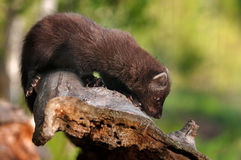 Young Fisher (Martes pennanti) Climbs Down Log Royalty Free Stock Photos