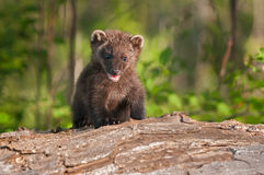 Young Fisher (Martes pennanti) Climbs Over Log Royalty Free Stock Images
