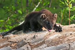 Young Fisher (Martes pennanti) Climbs Over Log Royalty Free Stock Photos