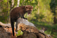 Young Fisher (Martes pennanti) Cries Out from Atop Log Stock Photo