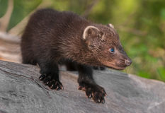 Young Fisher (Martes pennanti) Crouches on Log Stock Images