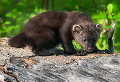 Young Fisher (Martes pennanti) Hunches on Log Stock Photography