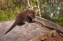 Young Fisher (Martes pennanti) on Log Stock Photo