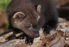 Young Fisher (Martes pennanti) on Log Royalty Free Stock Images