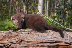 Young Fisher (Martes pennanti) on Log Looks Right Stock Images