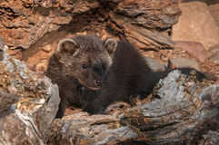 Young Fisher (Martes pennanti) Look Out from Inside Log Stock Photography