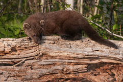 Young Fisher (Martes pennanti) Looks Down off Log Royalty Free Stock Image