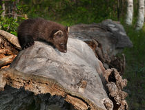 Young Fisher (Martes pennanti) Looks Down Side of Log Royalty Free Stock Photos
