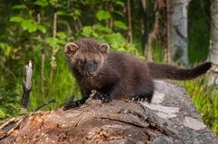 Young Fisher (Martes pennanti) Looks Forward from Atop Log Stock Photography