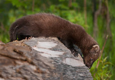 Young Fisher (Martes pennanti) Looks Off Edge of Log Stock Image