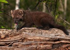 Young Fisher (Martes pennanti) Open Mouth on Log Stock Image