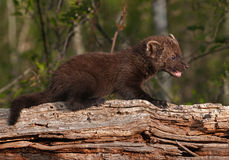 Young Fisher (Martes pennanti) Open Mouth on Log Stock Photos
