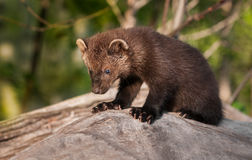 Young Fisher (Martes pennanti) Sits on Log Stock Image