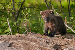 Young Fisher (Martes pennanti) Sits on Log Copy Space Left Royalty Free Stock Photo