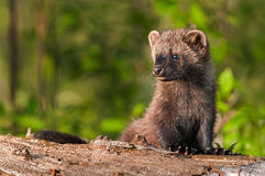 Young Fisher (Martes pennanti) Sits on Log Looking Left Royalty Free Stock Image