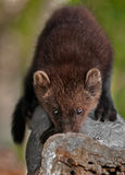 Young Fisher (Martes pennanti) Sniffs Log Royalty Free Stock Photos