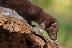 Young Fisher (Martes pennanti) Sniffs Log Royalty Free Stock Photo