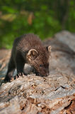 Young Fisher (Martes pennanti) Sniffs at Log Royalty Free Stock Photos