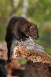 Young Fisher (Martes pennanti) Sniffs Surroundings Royalty Free Stock Images
