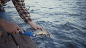 Young fisherman actively fishing at lake. Man releases pike. Footage 4k stock footage