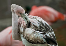 Young Flamingo. Close-up shot of a Young Flamingo Bird stock photos