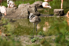 Young flamingo Royalty Free Stock Photo