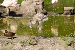 Young flamingo Stock Photography
