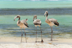 Young flamingo`s Royalty Free Stock Photo