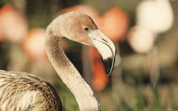 Young flamingo in sunny day Royalty Free Stock Photography