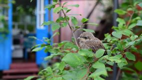 Young fledgling perching on twig of green tree. Young fledgling in natural environment perching on twig of green tree in a garden with a house in background stock video footage