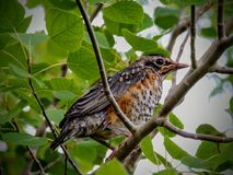 A young fledgling robin Royalty Free Stock Image