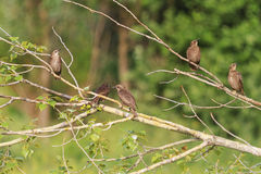 Young flock of starlings sitting in a tree Stock Image