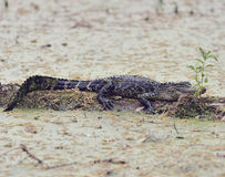 Young Florida Alligator Stock Image