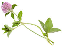 Young flower of clover Royalty Free Stock Image