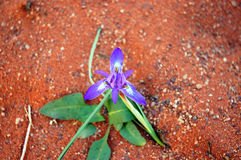 Young flower in desert. Spring in Wadi Rum desert, Jordan Royalty Free Stock Photos