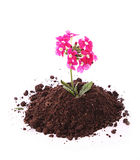 Young flower in ground Royalty Free Stock Image