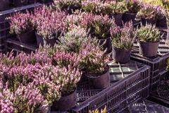 Young flowering heather in pots on boxes in the market, sale stock photography