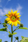 Young flowering plant sunflower against the sky Royalty Free Stock Images