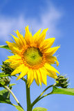 Young flowering plant sunflower against the sky Royalty Free Stock Photography