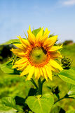 Young flowering plant sunflower against the sky Royalty Free Stock Photos
