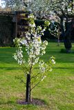 Young flowering tree in the garden Royalty Free Stock Photos