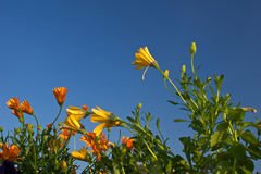 Young flowers. Of orange and yellow growing up to meet the clear blue sky Royalty Free Stock Image