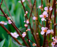Young flowers of cherry on the branches Royalty Free Stock Image