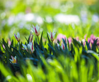 Young flowers in the meadow of fresh green grass on spring. Young flowers in the meadow of fresh green grass on a sunny spring day royalty free stock photos